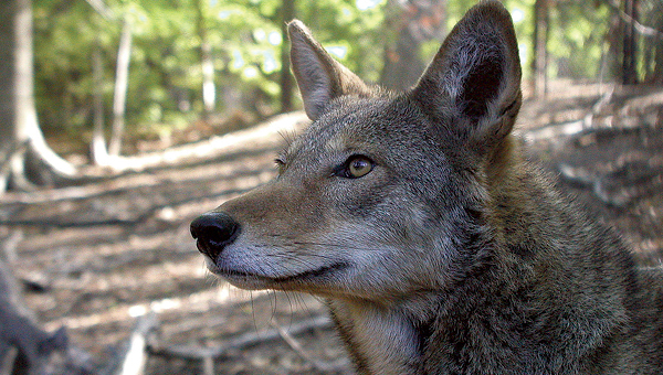 B. McPhee, USFWS WILDLIFE BATTLE: Declared extinct in the wild in the 1980s, the red wolf has been bred in captivity and reintroduced in a five-county region in North Carolina, including Beaufort County. The North Carolina Wildlife Resources Commission has adopted a resolution to have the U.S. Fish and Wildlife Service declare the species extinct and remove them private lands.